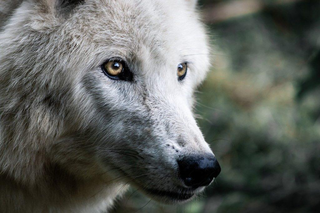 loup à lyon